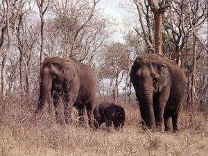 Elephants de la réserve naturelle de Mudumalai