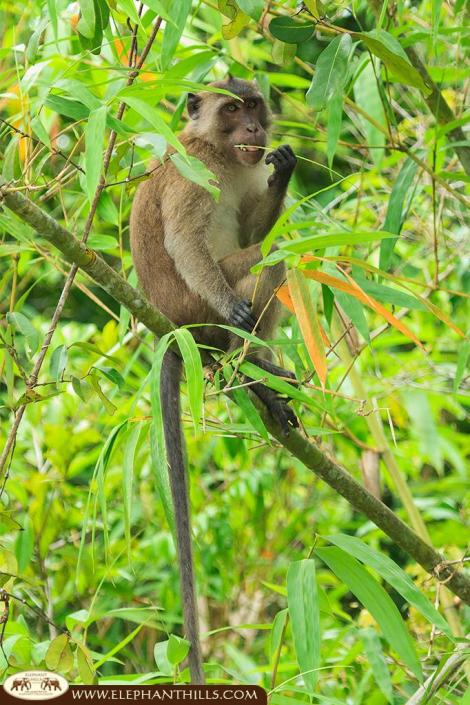 Long-tailed macaque sitting on a think tree trunk