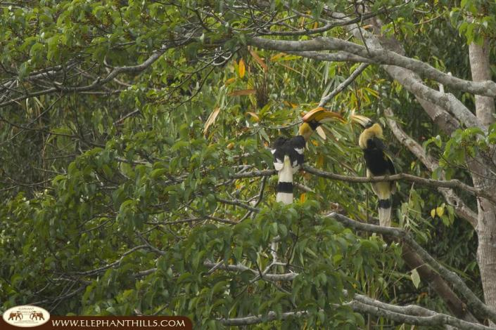 The male is feeding the female great hornbill