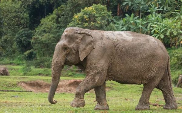 Interesting And Fascinating Facts About Elephants Feet And Legs Elephant Nature Park