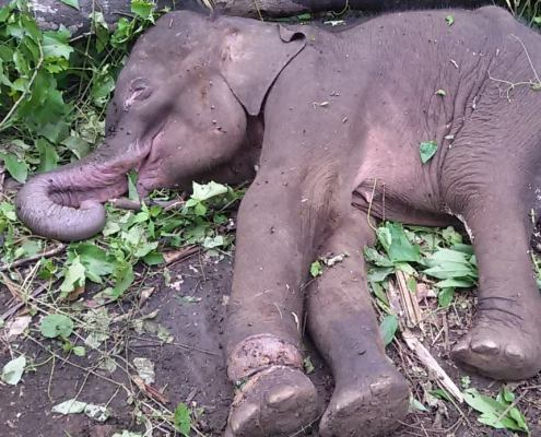 Baby Elephant Caught in Snare- Elephant Valley Project Mondulkiri