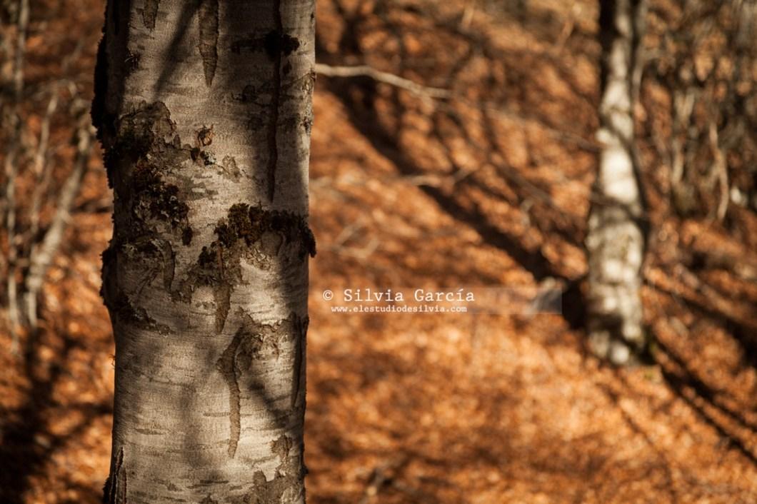 Canencia, robles, Sierra de Guadarrama, foto+natura, curso de fotografía, curso de naturaleza, otoño en la sierra de guadarrama