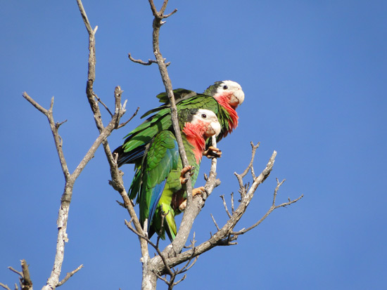 Abaco Parrots in dead tree (BNT)