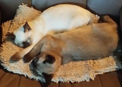 cute sleeping Tonkinese cats