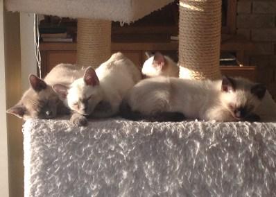 Tonkinese Kittens in the sun