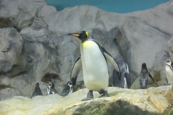 king penguin 1