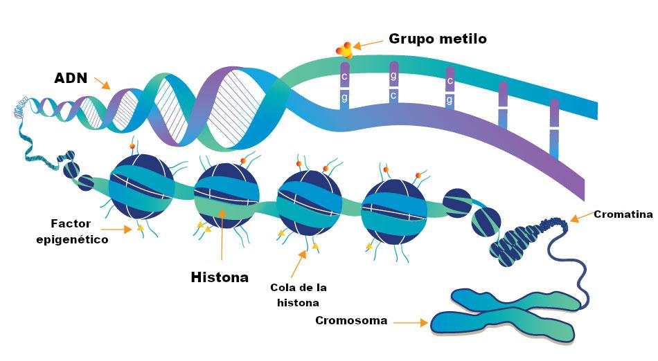 factores de la epigenética en el adn