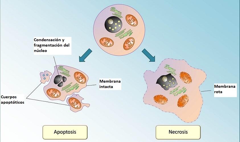 apoptosis y muerte celular en cáncer