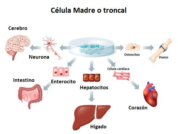 Las células madre pueden convertirse en cualquier tipo de célula