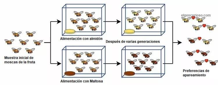 Experimento de especiación de Drosophila