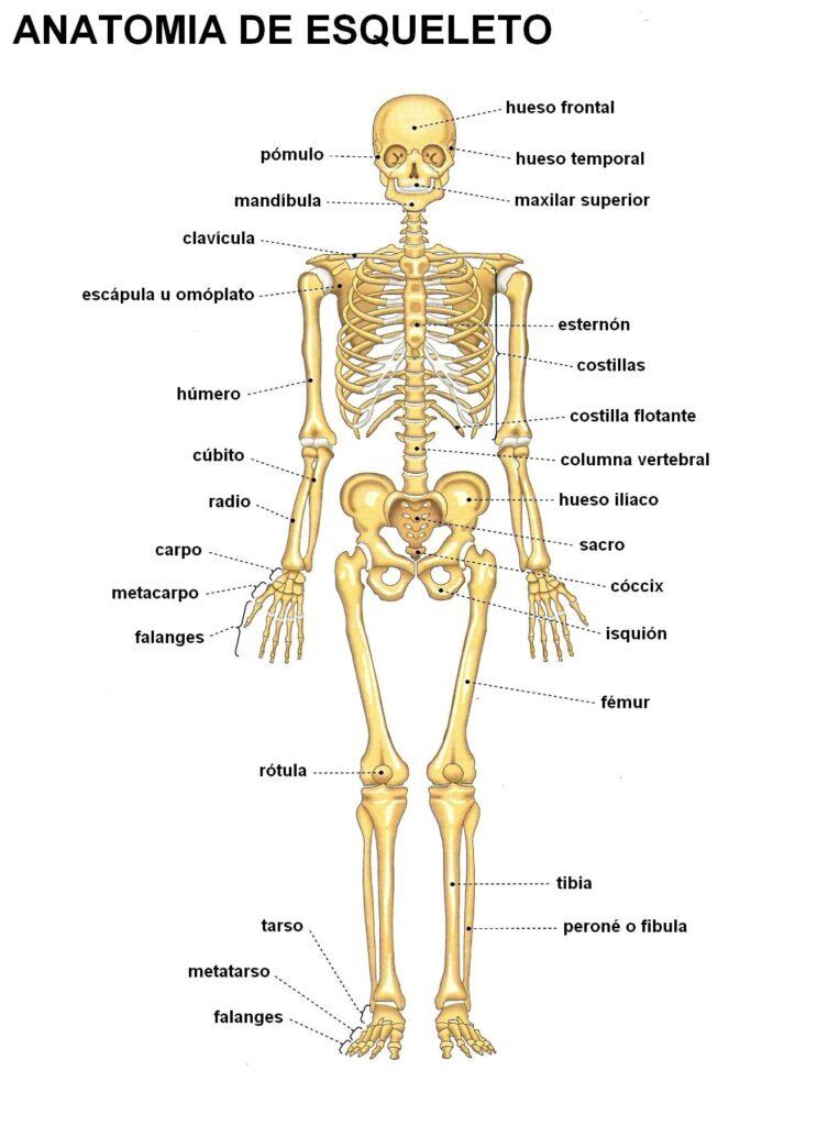 Diagrama del sistema esquelético