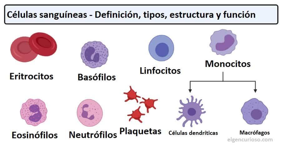 Glóbulos: definición y tipos con estructura y funciones