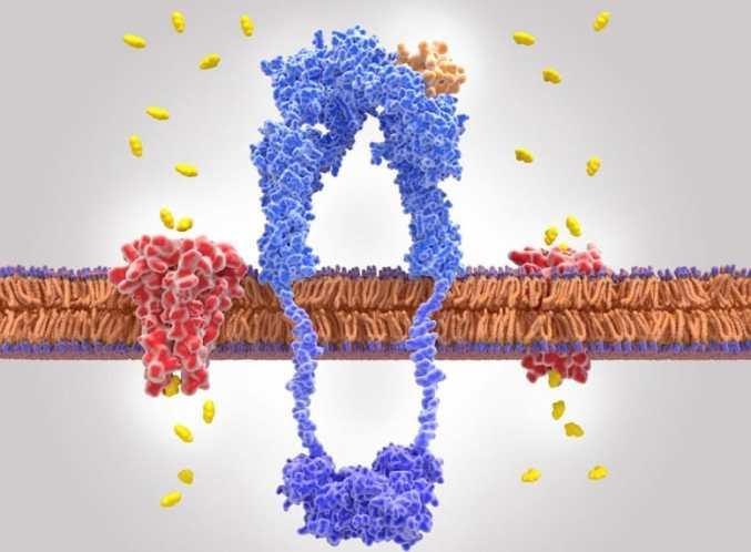Proteínas transportadoras de la membrana celular