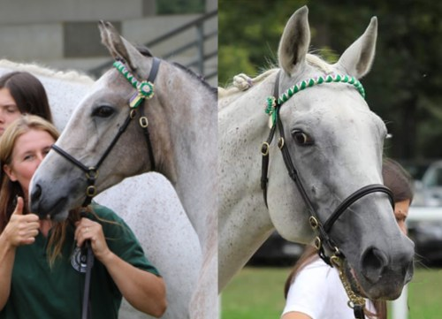 frontaux pour chevaux ruban