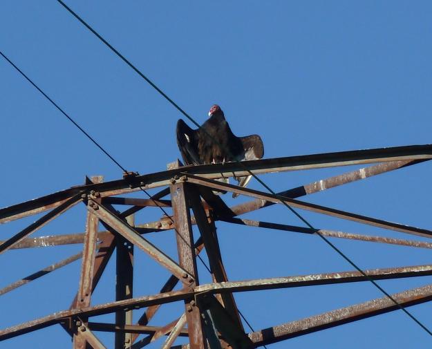 Turkey vulture enjoying the sun.