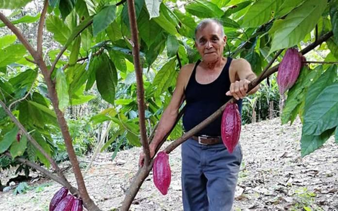 El cacao de Chiapas, de cara a un mejor futuro - El Heraldo de Chiapas