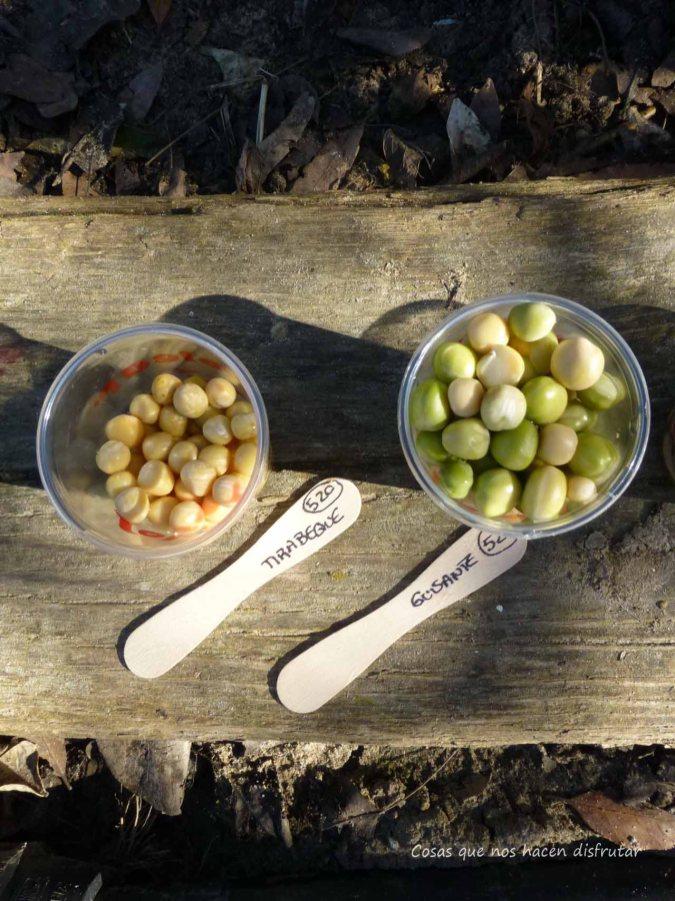 sembrar legumbres - Cultivo #tirabeque #judiasverdes #guisantes #perlas de salud