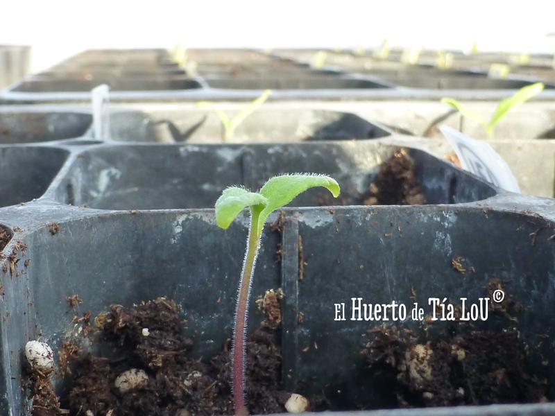 Cultivo de Tomates con Sabor : ¡Ya están brotando!