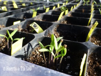 Cultivo de Tomates con Sabor : ¡Ya están brotando!Cultivo de Tomates con Sabor : ¡Ya están brotando!