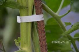 La mejor forma de atar tomates _El Huerto de Tia lou y Rubangel_ (6)