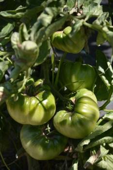 Tomates con sabor casi a punto_El huerto de Tia Lou (1)