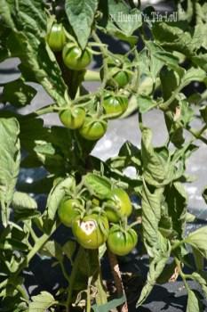 Tomates con sabor casi a punto_El huerto de Tia Lou (5)