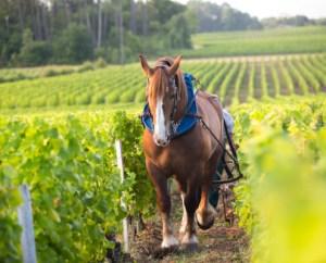Latour Martillac werkt semi-biologisch. En soms wordt het paard van stal gehaald om in de wijngaard te worden ingezet.