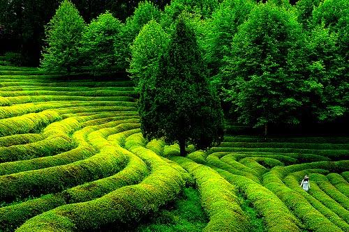 Green Tea Field, South Korea