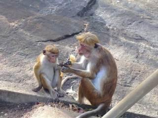 Sri Lanka Scimmiette a Dambulla