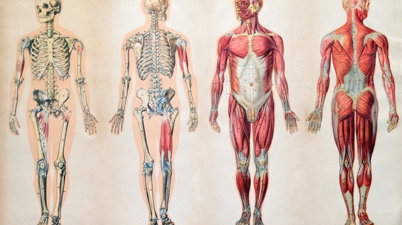 Serias Capaz De Situar Los Organos De Tu Cuerpo La Mayoria No