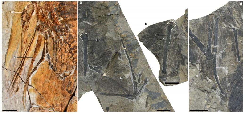Comparación de fósiles de otro Ambopteryx y el ejemplar Yi Qi