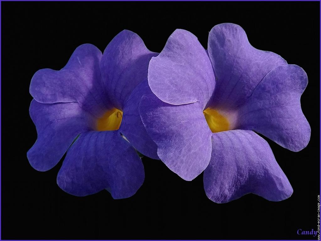 la violette elisabeth d autriche hongrie
