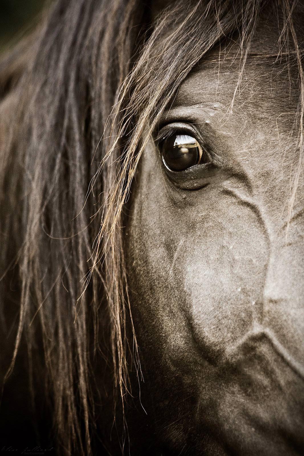 portrait cheval pur sang arabe