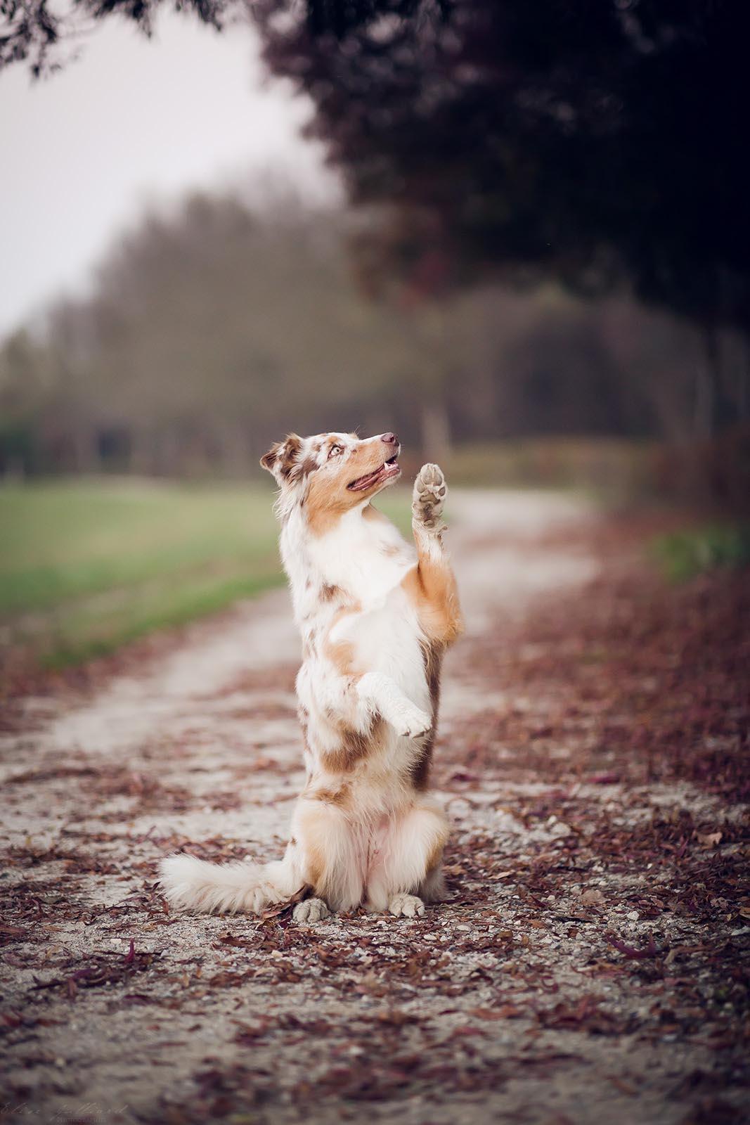 séance photo chien Lyon Berger Australien