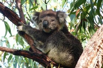 Koala au réveil