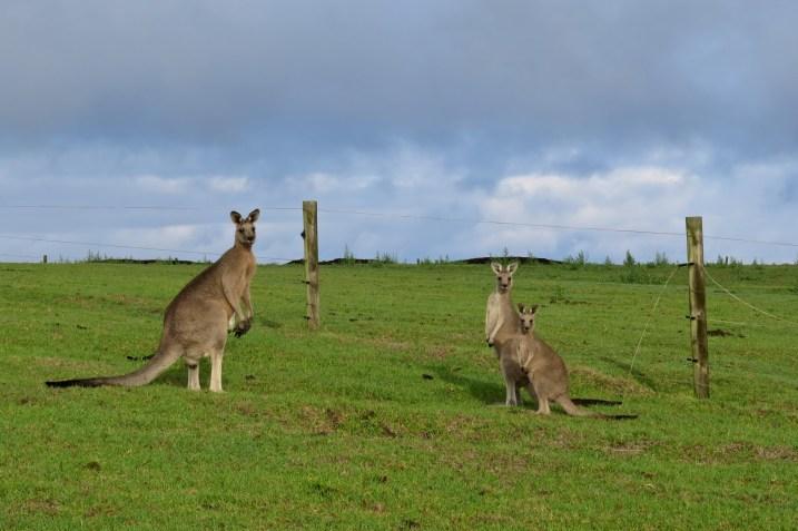 Kangourous curieux