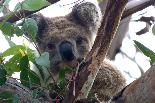 Koala observateur