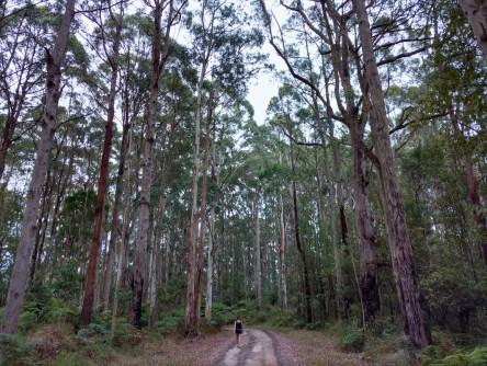 À la recherche des koalas
