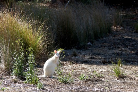 Wallaby blanc
