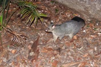 Possum à South Duras