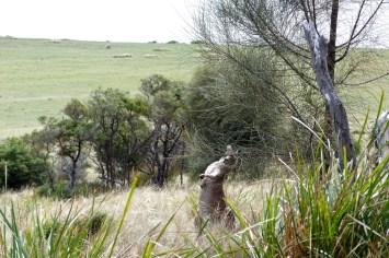 Kangourous à Maria Island