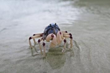 Crabe soldat à Whitehaven Beach