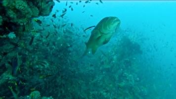 Mérou attendant les poissons nettoyeurs