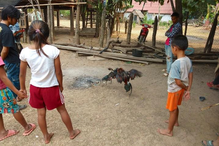 Combat de coqs devant toute la famille
