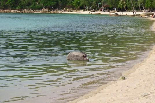 Cochon plage Koh Phangan Thailande blog voyage 2016 16