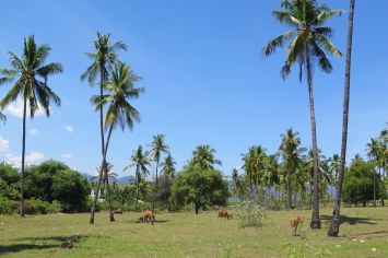 Vaches senggigi-lombok-indonesie-blog-voyage-2016-27
