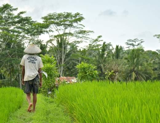 Rizières ubud-indonesie-blog-voyage-2016-18