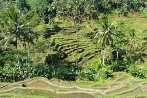 Rizières terrasses Tegallalang ubud-indonesie-blog-voyage-2016-48