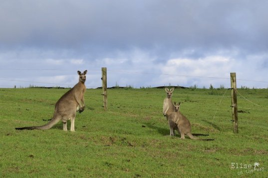 Pâturages à kangourous, sur la Great Ocean Road en Australie
