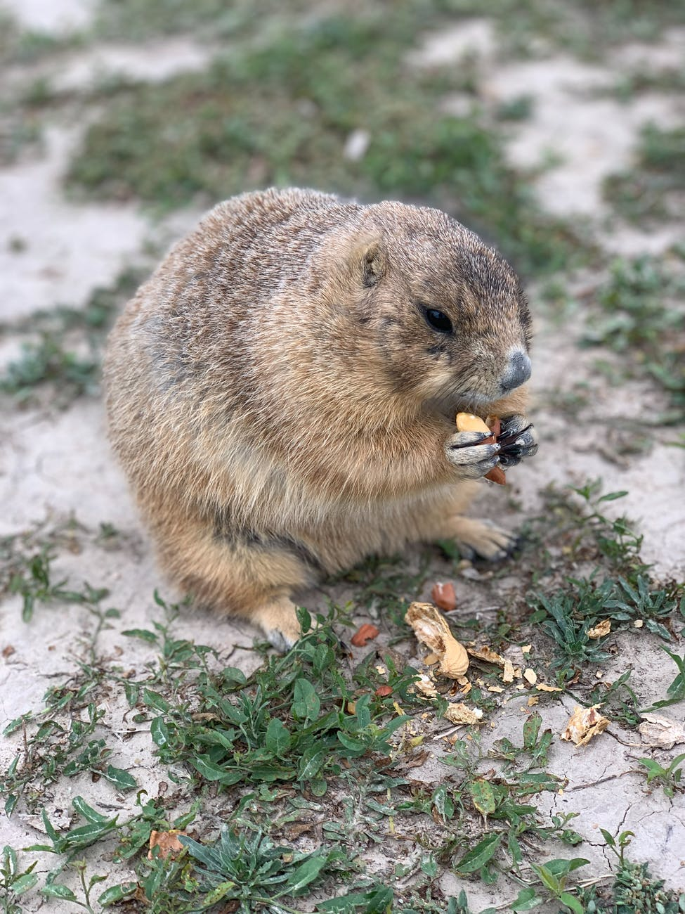 fluffy wild woodchuck gnawing nuts sitting on grass